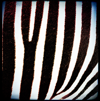 Google Zebra Update Rumours - Fact or Fiction?